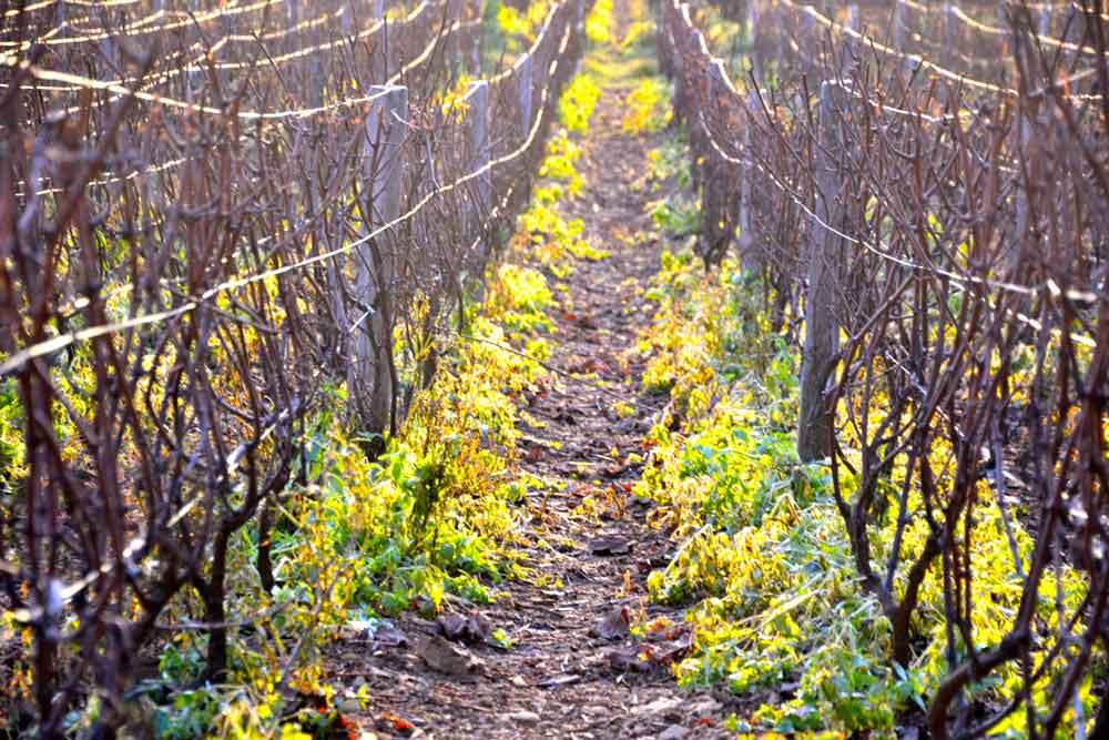 vigne-pontus-de-tyard
